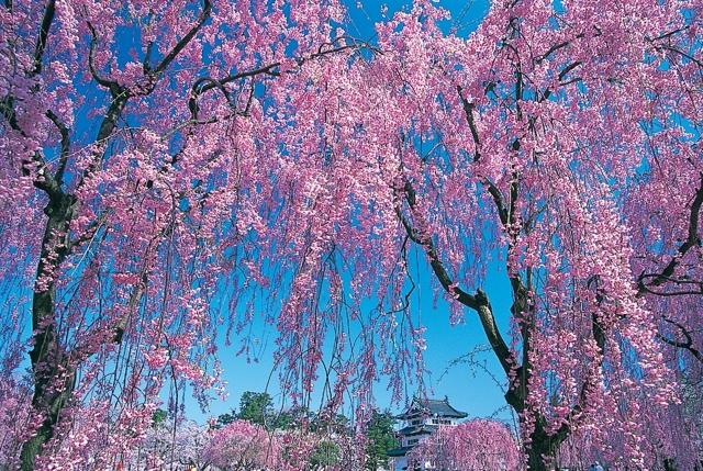 29 апреля «Хороши в саду весной цветочки!»